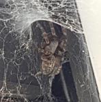 Aranhas na Austrália